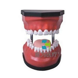 """""""康为医疗""""豪华型牙护理保健模型(32颗牙,可脱卸)"""