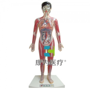 """""""康为医疗""""微电脑人体心动周期与大小循环演示模型"""