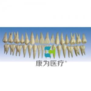 """""""康为医疗""""单色恒牙模型(放大2倍)"""