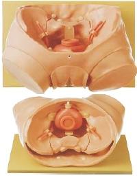 膀胱内窥镜检查模型