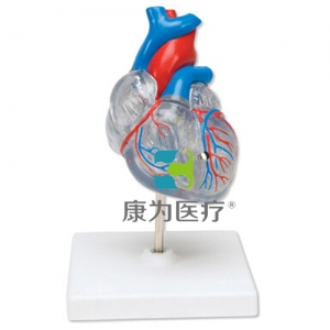 """""""康为医疗""""透明心脏模型"""