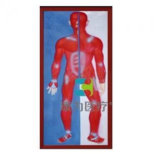 """""""康为医疗""""肌肉系统浮雕模型"""