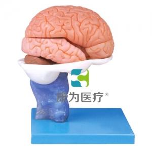 """""""康为医疗""""15部分脑解剖模型"""