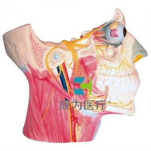 """""""康为医疗""""脑神经在头颈部分布模型、十二对脑神经"""