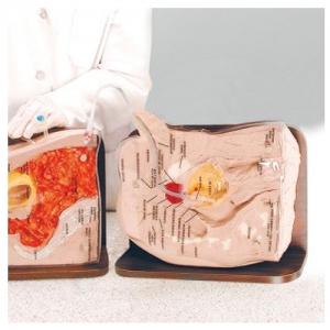 德国3B Scientific®男性导尿插管训练模型