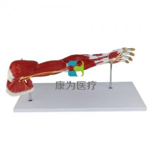 """""""康为医疗""""上肢层次解剖模型"""