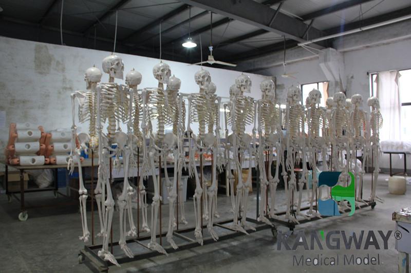 威廉希尔|平台医疗人体骨骼威廉希尔车间
